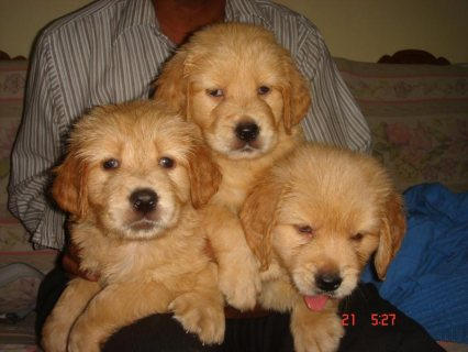 Wonderful Lovely Golden Retriever for Sale