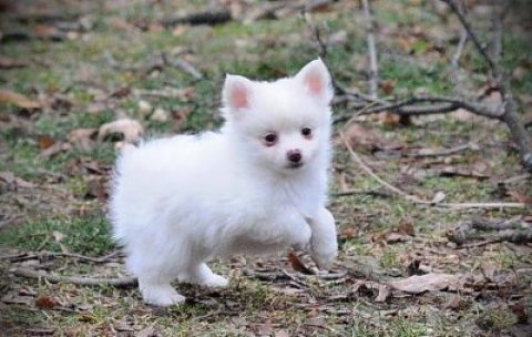 Amazing Pomeranian Puppies For Sale