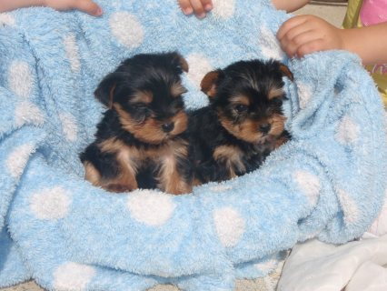 Beautiful Female Yorkie Puppies Available For Sale
