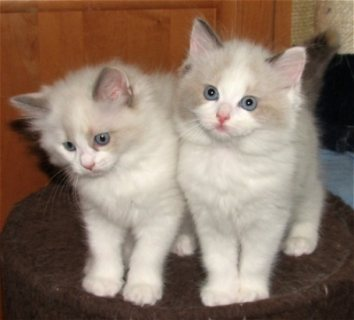Akc registered ragdoll kittens For Sale