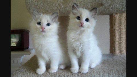 Pure Bred Full Pedigree ragdoll kittens For Sale
