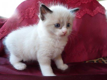 Adorable Siberian ragdoll kittens for Sale.