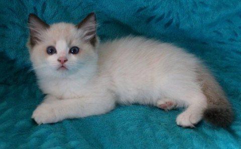 Cute Male ragdoll kittens For Sale