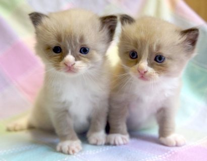Two ragdoll kittens For Re-homing