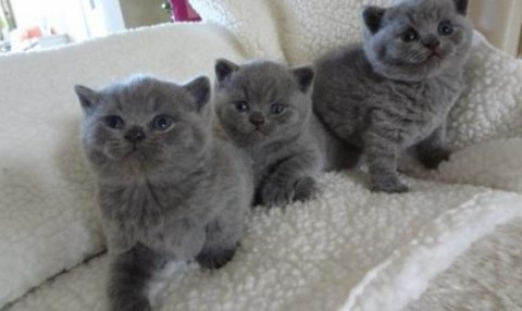 Pure Bred Full Pedigree british shorthair kittens For Sale