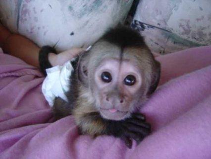 Wonderful Lovely Capuchin monkeys for Sale