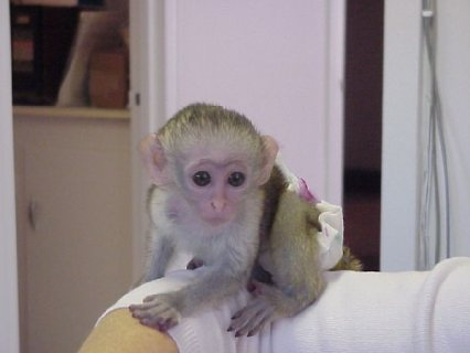 Beautiful Female Capuchin Monkeys Available For Sale