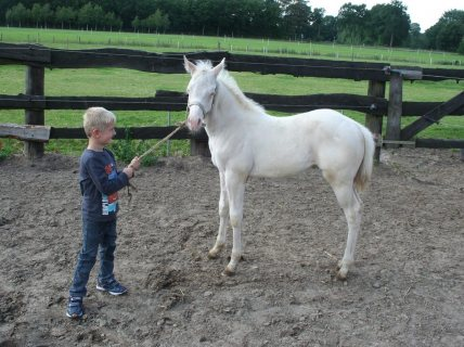 Excellent Arabian Gelding horse for sale