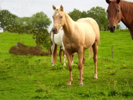 صور Beautiful well behave horse for sale 1