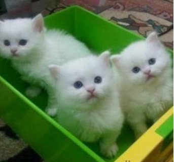 Cute and Adorable Persian Kittens for Sale