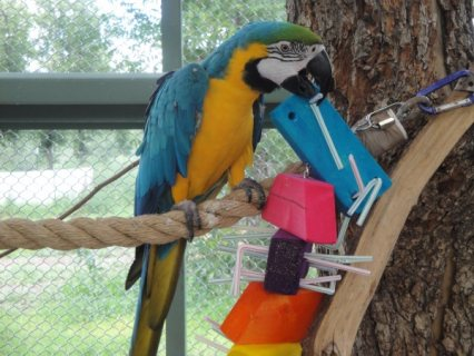 very loving Macaws parrots For sale