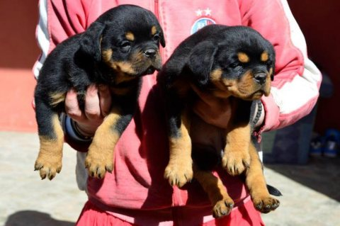 Cute Rottweiler puppies Currently Available For Sale