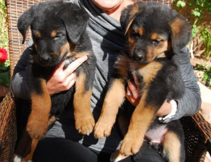 Absolutely Beautiful Rottweiler puppies For Sale