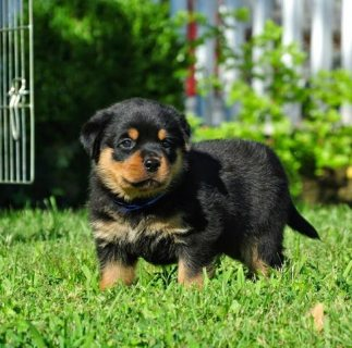 Cute Rottweiler puppies Available For Sale