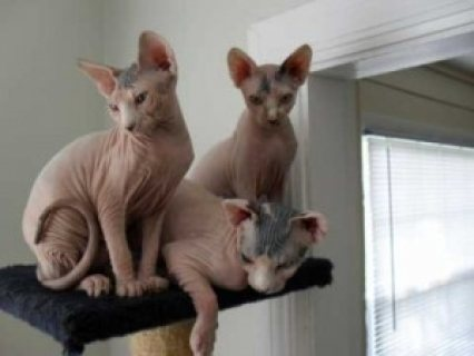 Cute Sphynx Kittens for sale,............/