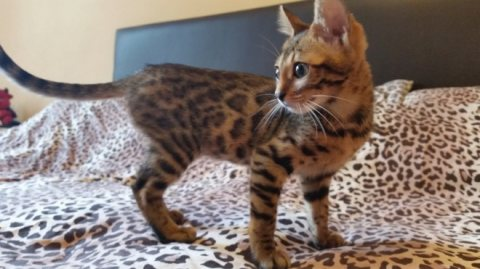 Male and female Bengal Kittens for new homes