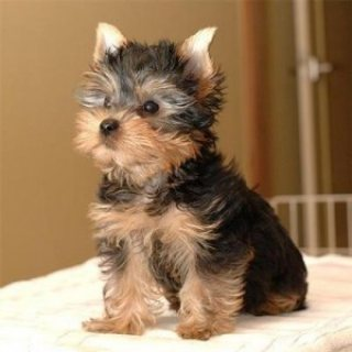 صور Talanted Trained Teacup Yorkie Puppies For Adoption. 1