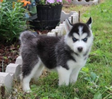 صور Cute Siberian Husky Pups for adoption 1