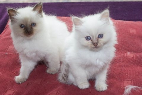 Stunning Rosetted Male and Female Birman Kittens For Sale