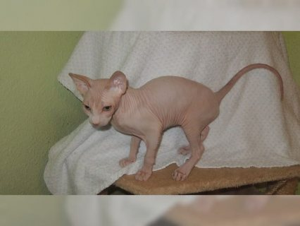 Gorgeous Sphynx Cats For Sale