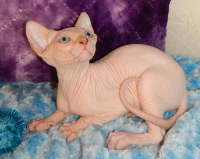 Sphynx Kittens for New Homes For Sale