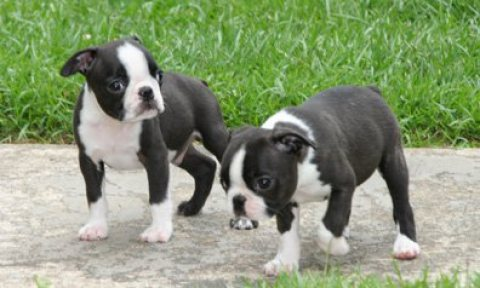 Two Boston Terriers Puppies For Sale