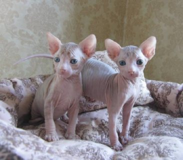 صور Angelic Sphynx Kittens Ready Now 1