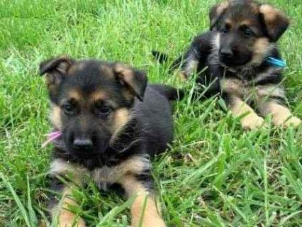 Quality German Shepherd puppies For Sale