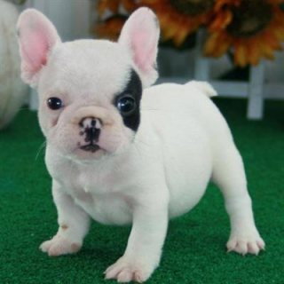Excellent French Bulldog For Sale