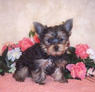 Teacup Yorkie Puppies Available for Re-homing.....