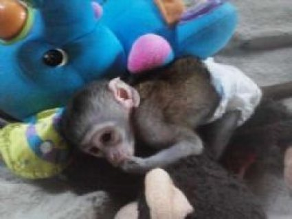 baby capuchin monkey available for rehoming
