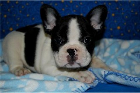 Healthy and Cute French Bulldogs for Adoption..