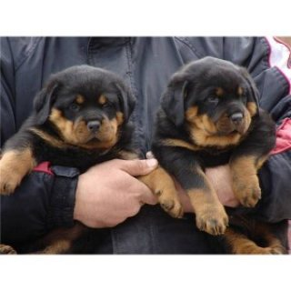 male and female AKC/KC Registered Rottweiler puppies