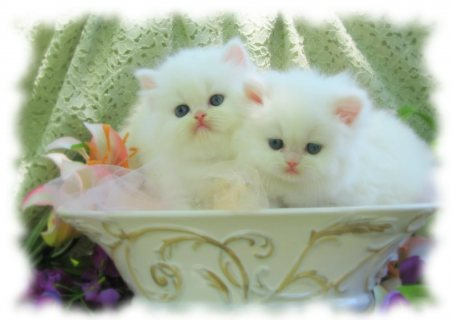 XMAS PERSIAN KITTENS AVAILABLE FOR SALE
