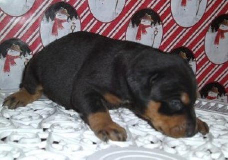 صور Doberman male and female Puppies for Sale 1