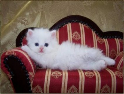 loovely persian kittens for rehoming,.//.