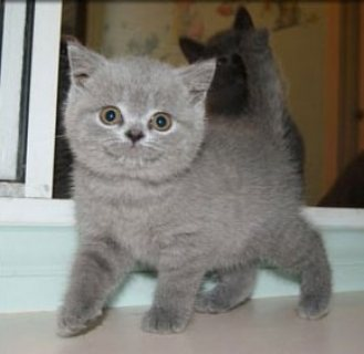 Cute Male and female British Blue Shorthair kittens for sale..