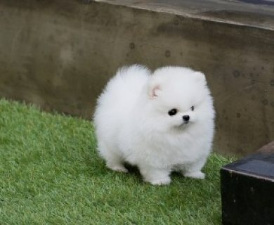Tiny Purebred Pomeranian Puppies-Toy-&-Standard Sizes.