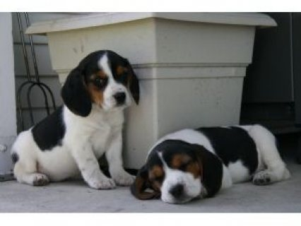 Cutest Beagle Puppies for ur homes