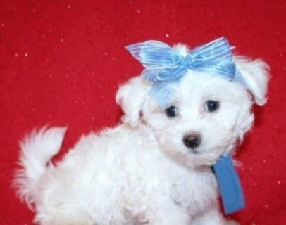 صور Maltese puppy for Sale 1