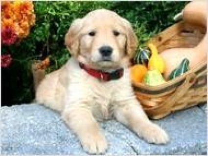 Golden Retriever Puppy available now