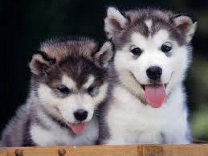 Adorable and affectionate male and female Siberian Husky puppies