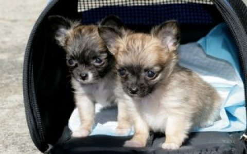 Cute Chihuahua Puppies male and female for u