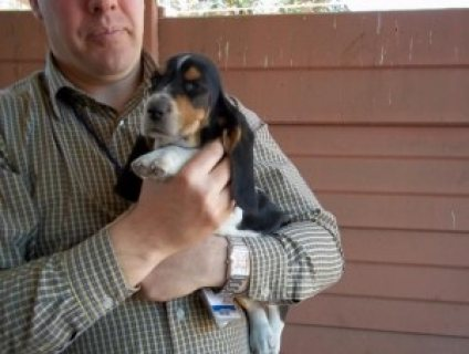 Female basset hound puppy for free adoption