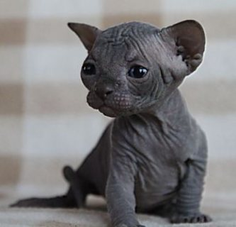 amazing Sphynx kitten solid blue male
