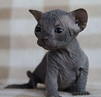 amazing Sphynx kitten solid blue male