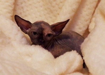 Sphynx kitten black tortie female.
