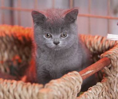 Two pedigree male British Shorthair kittens -