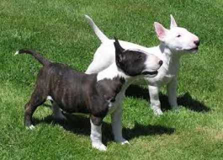 charming Bull Terrier puppies