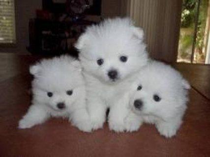 Purebred American Eskimo Puppies